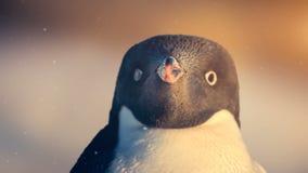 Faune antarctique : pingouin noir et blanc regardant l'appareil-photo clips vidéos