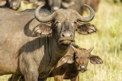 Faune - buffle africain images libres de droits