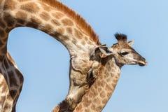 Faune d'affections de contact de veau de girafe Images libres de droits