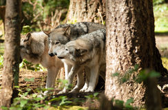 Faune d'Américain de Wolf Pack Standing Playing North d'animal sauvage Photographie stock