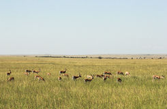 Faune dans Maasai Mara, Kenya Photographie stock libre de droits
