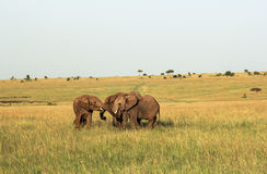 Faune dans Maasai Mara, Kenya Photos libres de droits