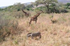 Faune de l'Afrique du Sud à la girafe de parc de kruger Images libres de droits