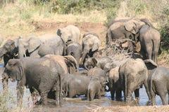 Faune de l'Afrique du Sud aux éléphants de parc de kruger Photographie stock libre de droits