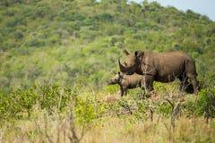 Faune de l'Afrique du Sud de rhinocéros et de veau photographie stock