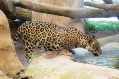 Faune de l'eau de boissons de Jaguar dans le zoo image stock