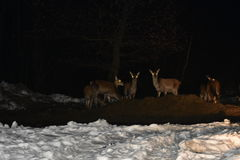 Faune de nuit des cerfs communs en hiver Images libres de droits