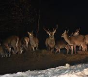 Faune de nuit des cerfs communs en hiver Photos stock