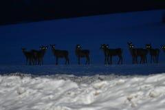 Faune de nuit des cerfs communs en hiver Photos libres de droits