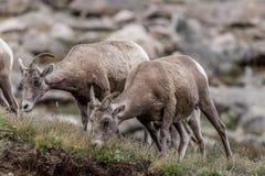 Faune du Colorado de montagne rocheuse de chèvres de montagne Photographie stock libre de droits