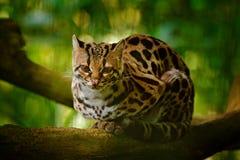 Faune en Costa Rica Séance margay de chat gentil sur la branche dans le portrait tropical costarican de détail de forêt de l'ocel images stock