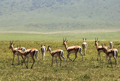 Faune en Ngorongoro Carter, Tanzanie Photo libre de droits