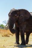 Faune et région sauvage de safari de l'Afrique d'éléphant africain Photos stock