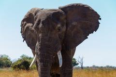 Faune et région sauvage de safari de l'Afrique d'éléphant africain Photo stock