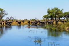 Faune et région sauvage de safari de l'Afrique d'éléphant africain Image libre de droits