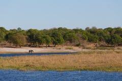 Faune et région sauvage de safari de l'Afrique d'éléphant africain Photos libres de droits