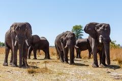 Faune et région sauvage de safari de l'Afrique d'éléphant africain Image stock