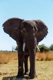 Faune et région sauvage de safari de l'Afrique d'éléphant africain Photographie stock libre de droits