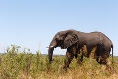 Faune et région sauvage de safari de l'Afrique d'éléphant africain Images libres de droits