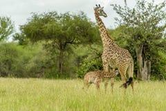 Faune - girafe photographie stock libre de droits