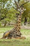 Faune - girafe image stock