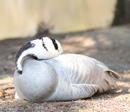 Faune gratuite de nature animale de canard Photos stock