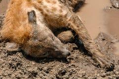 Faune - hyène photographie stock