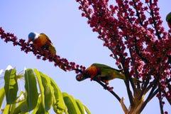 Faune indigène australienne, oiseaux de perroquet de Lorikeet d'arc-en-ciel de Rosella Image libre de droits