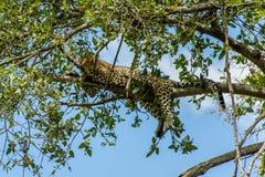 Faune - léopard image stock
