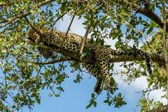 Faune - léopard photos libres de droits