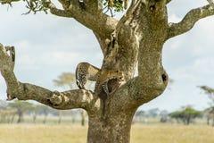 Faune - léopard image libre de droits