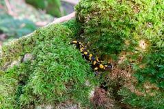 Faune repérée jaune noire de salamandre de feu dans le Forrest Photographie stock libre de droits