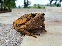 Faune sauvage et de catesbeiana de Rana de crapaud et de grenouille mugissante et style aux attractions touristiques supérieures  Image libre de droits