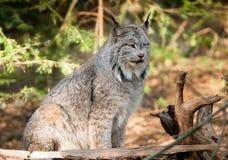 Faune solitaire de Bobcat Pacific Northwest Wild Animal Images libres de droits