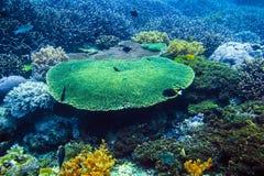 Faune tropicale avec des coraux et poissons Vie marine dans l'Océan Indien Photos libres de droits