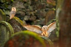Faune urbaine Hibou de grange magique d'oiseau, Tito alba, volant au-dessus de la barrière en pierre dans le cimetière de forêt N photos libres de droits