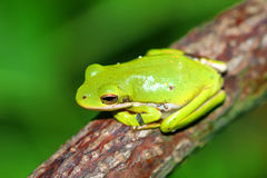 Faune verte de Treefrog l'Illinois Photo stock