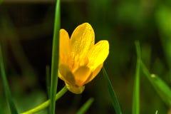 Fausse renoncule Fleur de source Photos libres de droits