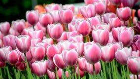 Fausses tulipes banque de vidéos
