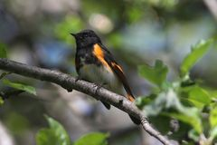 Fauvette américaine de Redstart Photos libres de droits