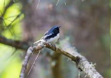 Fauvette bleue Throated noire images stock