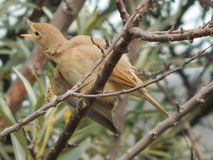 Fauvette d'oiseau dans le sauvage Photo stock