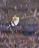 Fauvette dans la tempête de neige Photo stock