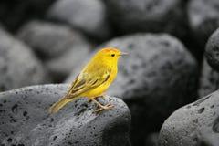 Fauvette jaune Images libres de droits