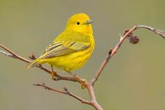 Fauvette jaune photo stock