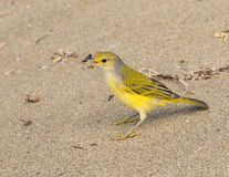 Fauvette jaune de Galapagos Image stock
