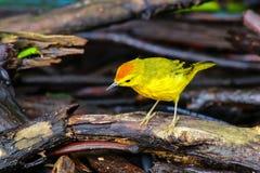 Fauvette jaune masculine sur Santa Cruz Island dans Galapagos P national images stock