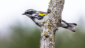 Fauvette jaune-Rumped Photographie stock