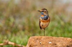 Fauvette mâle de gorge bleue Images libres de droits