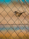 Fauvette sarde femelle sur le fil Image stock